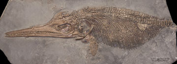 Ichthyosaur with full belly