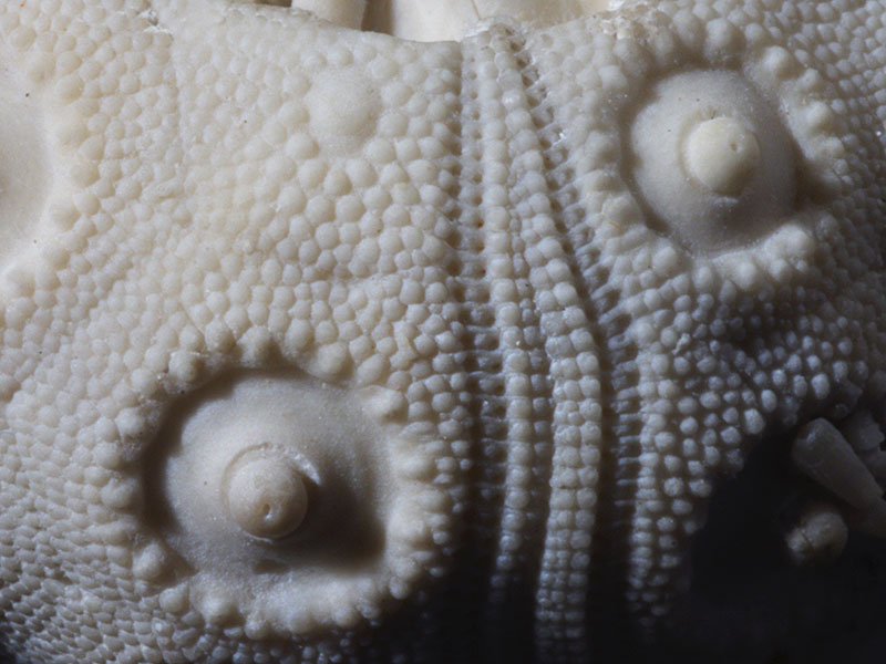 Chalk echinoid (detail)